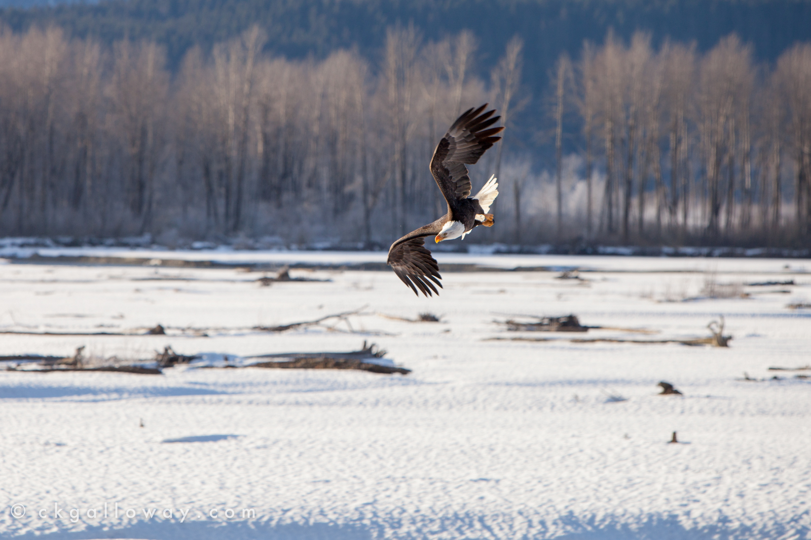 An eagle fishes on the Chilkat River. Photo by Christa Galloway.