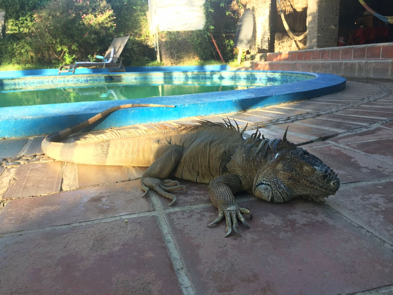 Paco the giant iguana, hanging by the pool