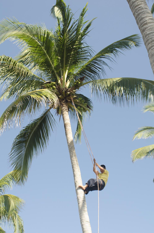 Domingo harvesting coconuts in the property