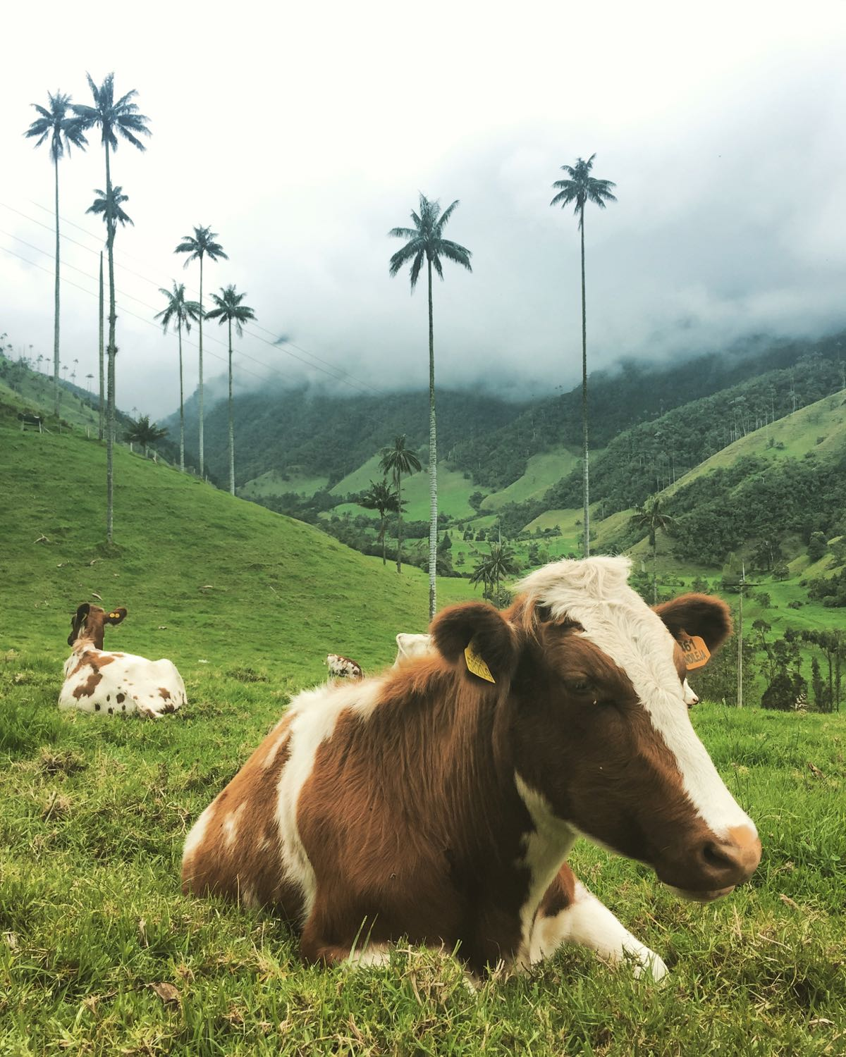 Cows are happy in the mountains