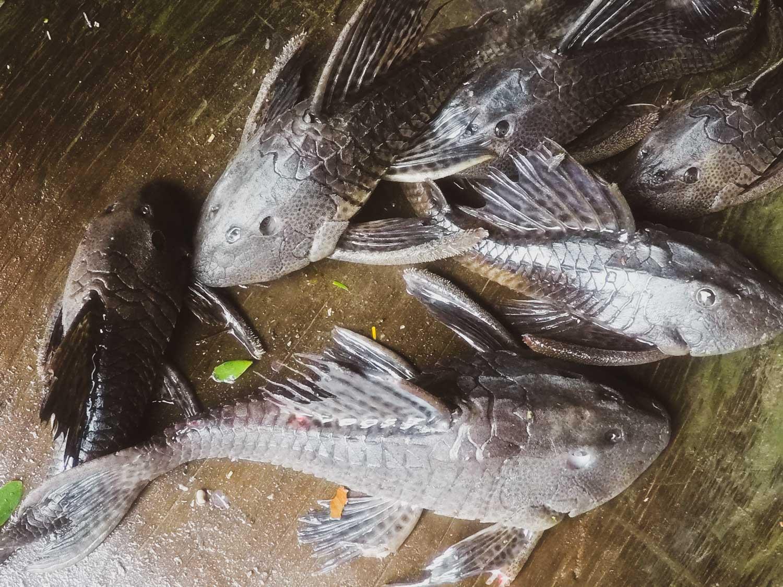 Carachama fish