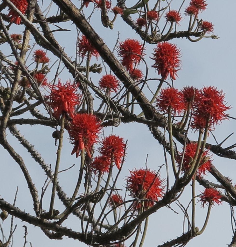 Erythrina abyssinica    Coralina-da-Abissínia • Red-hot poker tree  Árvore da África tropical • Tree from tropical Africa  foto de Marla Castro no Parque de Santa Catarina