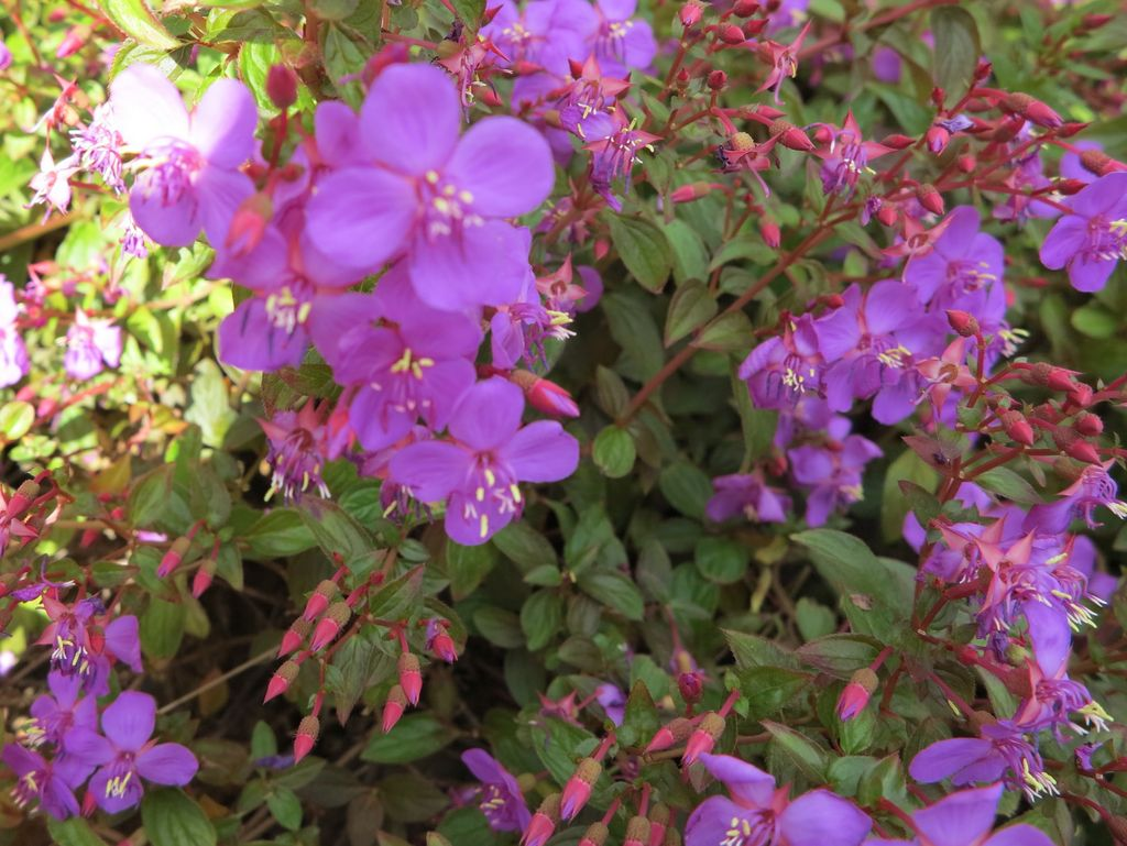 Centradeniainaequilateralis    Centradénia •  Centradenia  arbusto do México • shrub from Mexico  foto de Marla Castro no Parque de Santa Catarina