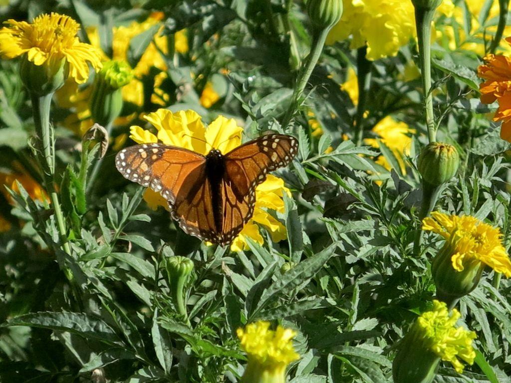 Danaus plexippus    borboleta Monarca • Monarch butterfly  foto de Marla Castro no Parque de Santa Catarina