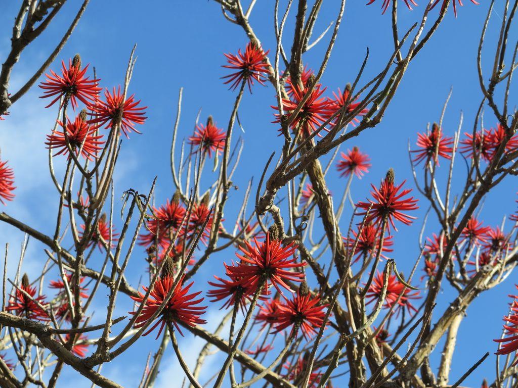 Erythrina speciosa    Coralina-elegante• Coral tree  Árvore do Brasil • Tree from Brazil  foto de Marla Castro no Parque de Santa Catarina