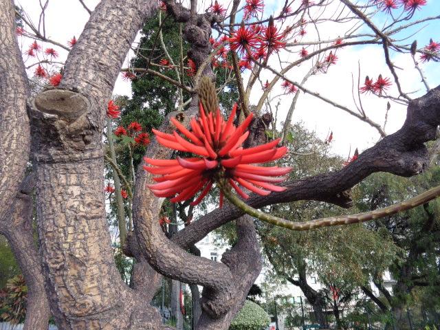 Erythrina speciosa    Coralina-elegante• Coral tree  Árvore do Brasil • Tree from Brazil  foto de Ana Bonito no Parque de Santa Catarina