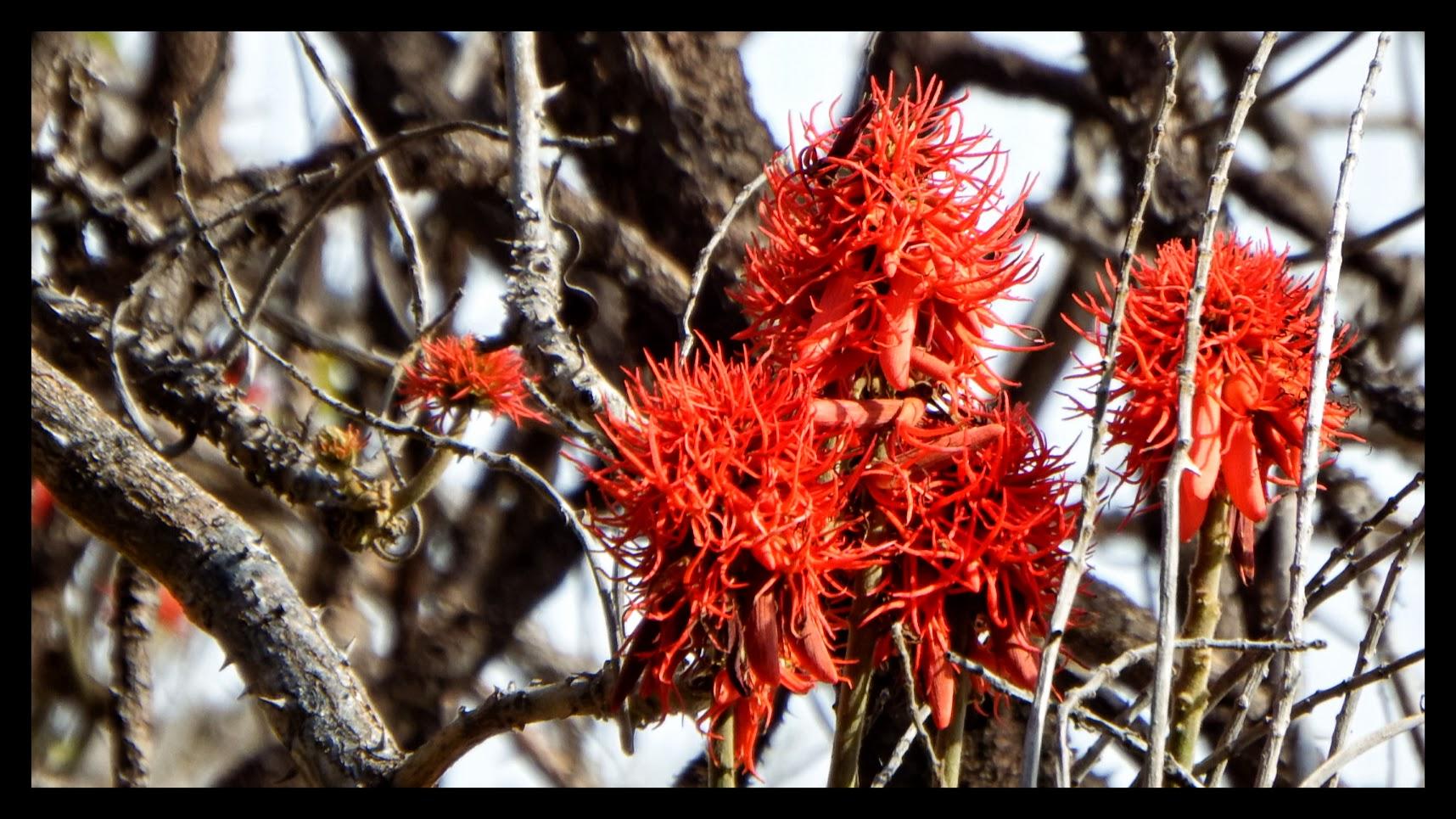 Erythrina abyssinica    Coralina-da-Abissínia • Red-hot poker tree  Árvore da África tropical • Tree from tropical Africa  foto de José Constantino no Parque de Santa Catarina