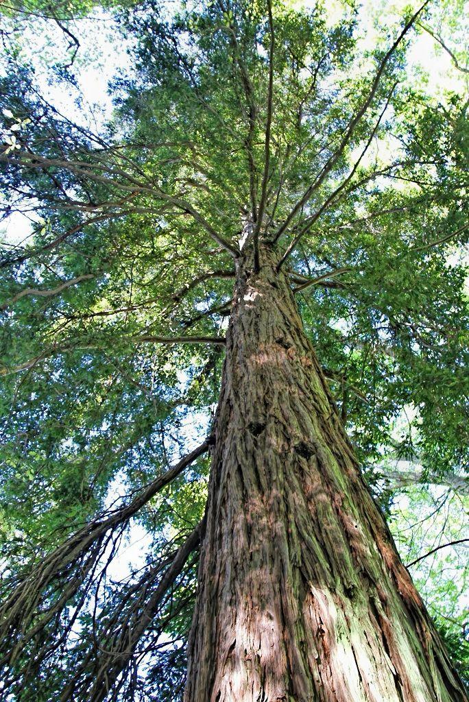 Sequoia sempervirens    Sequóia • California Redwood  Árvore perenifólia — ocidente dos E.U.A. (regiões costeiras do Oregão e da Califórnia) • Evergreen tree — western U.S.A. (coastal regions of Oregon and California)  foto de Virgílio Silva no jardim da Quinta do Palheiro Ferreiro
