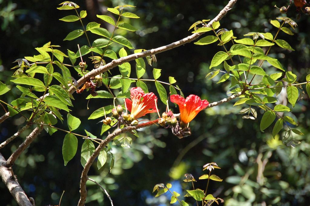 Fernandoa magnifica    Fernandoa • Snake Tree  Árvore nativa da África Tropical • Tree native to Asia  foto de Gil Abreu no Jardim Municipal do Funchal