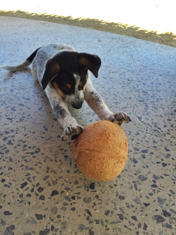 In Fiji we play with coconuts