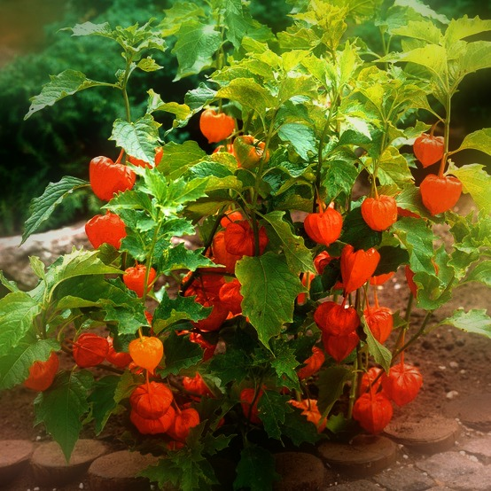 It's very innocent looking as an ornamental shrub.