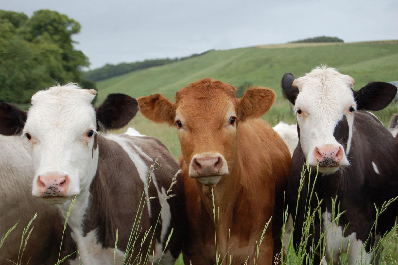 happy and healthy cows