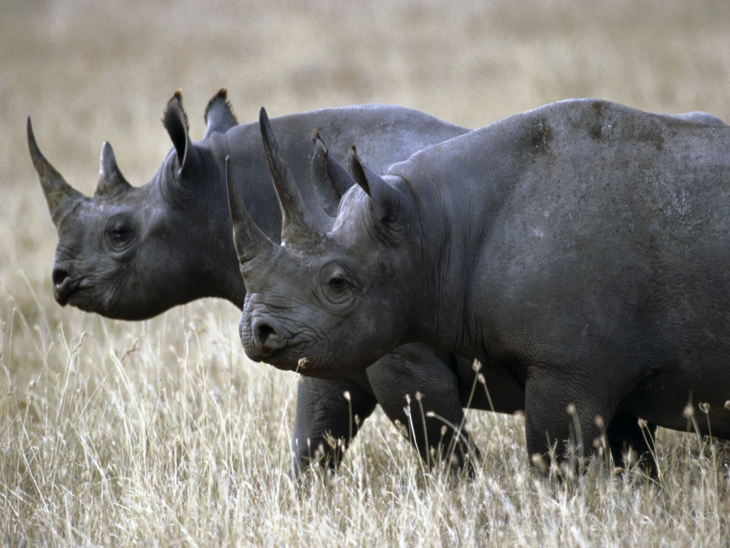 west-african-black-rhino