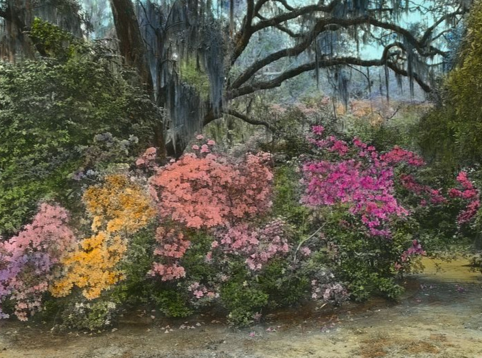 "Frances Benjamin Johnston, photographer, ""Magnolia Plantation, Azaleas."" Library of Congress."