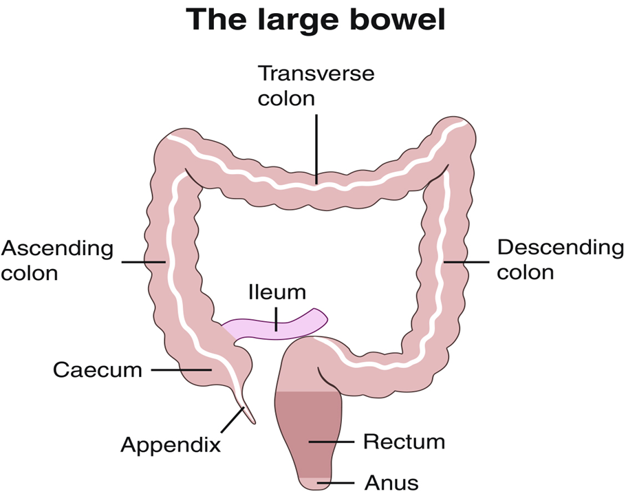 C Norton large bowel.png