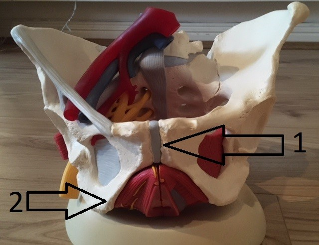 Pelvis bone and muscles (Anterior view)
