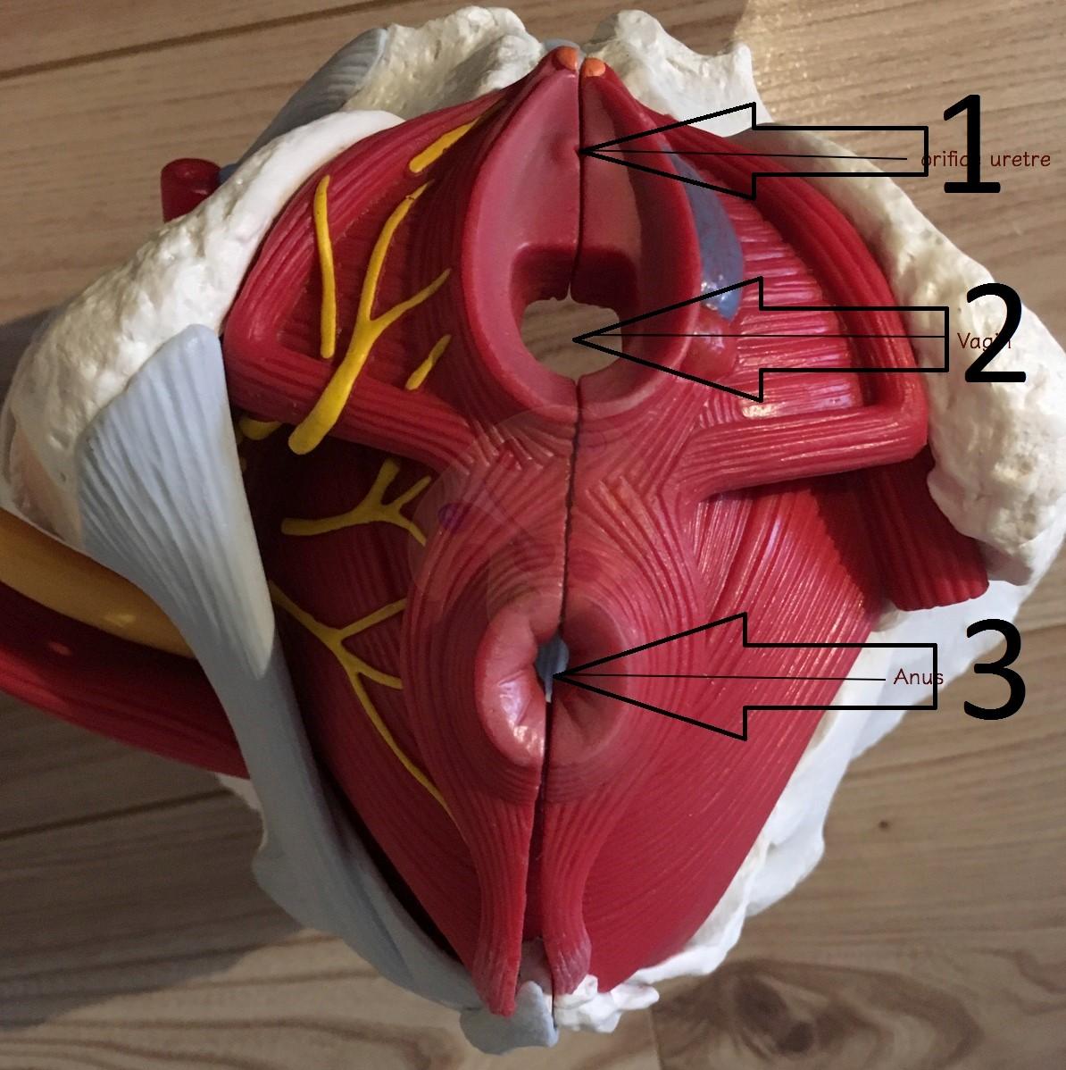 Pelvic floor muscles view from below