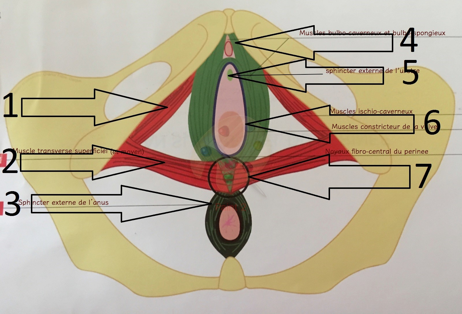 Superficial and intermediate pelvic floor muscles