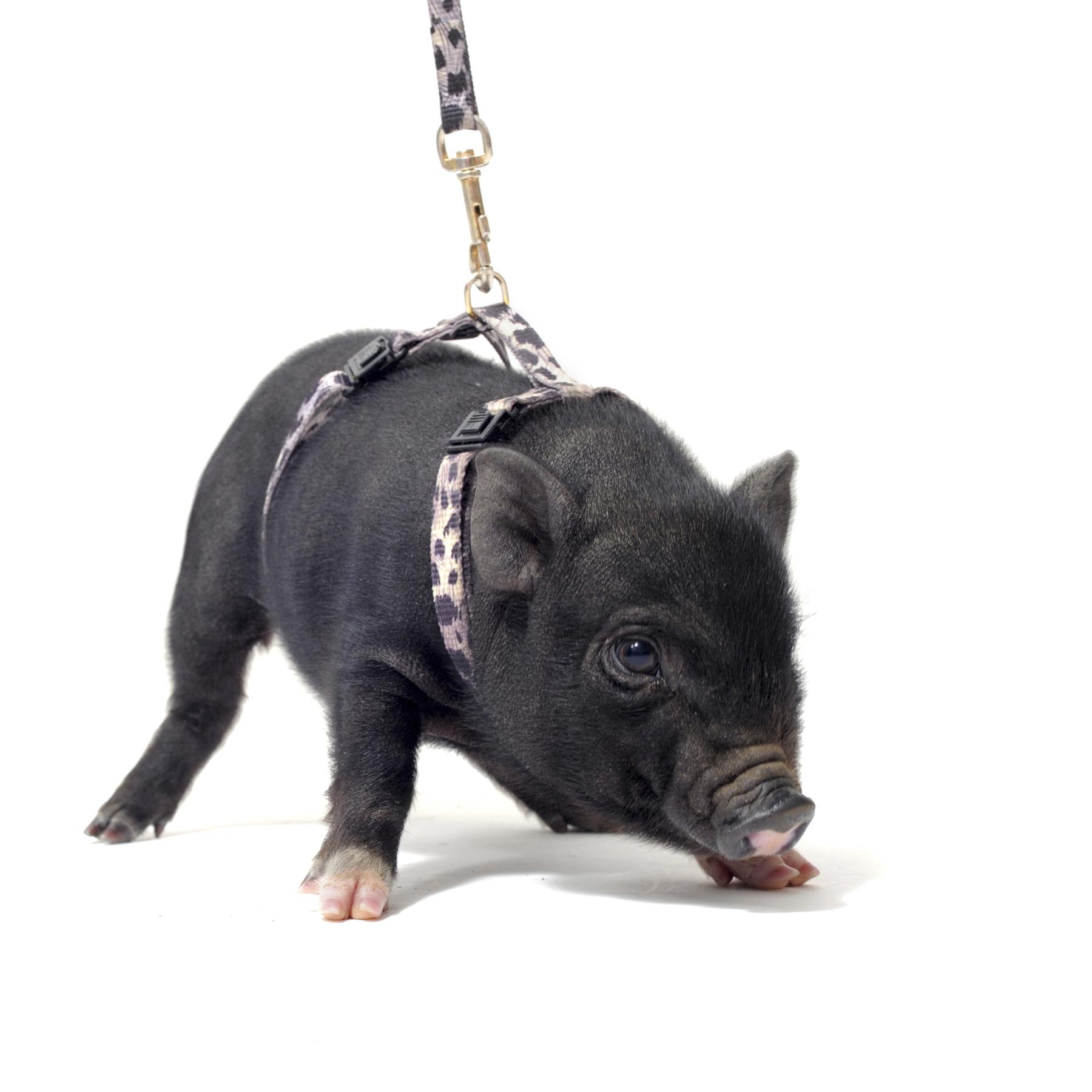 black-mini-pet-pig.jpg