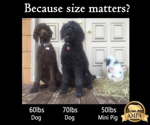 MIni Pet Pigs Canada — Three Little Pigs