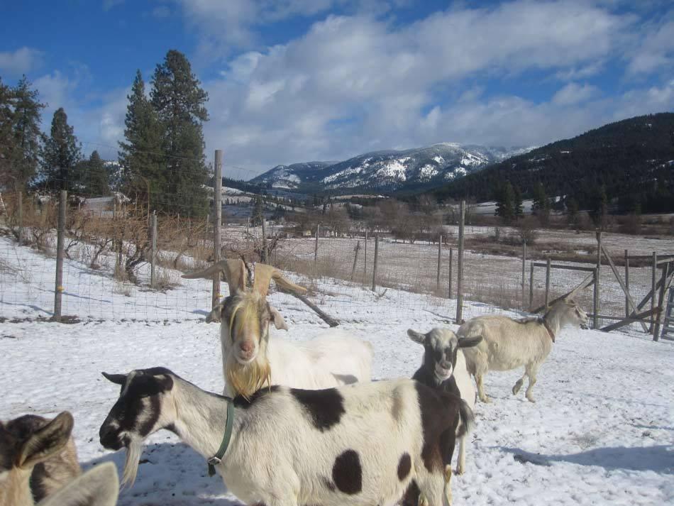 quillisascut goats.jpg
