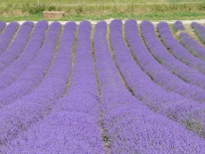Lavender+pics+Louise.jpg