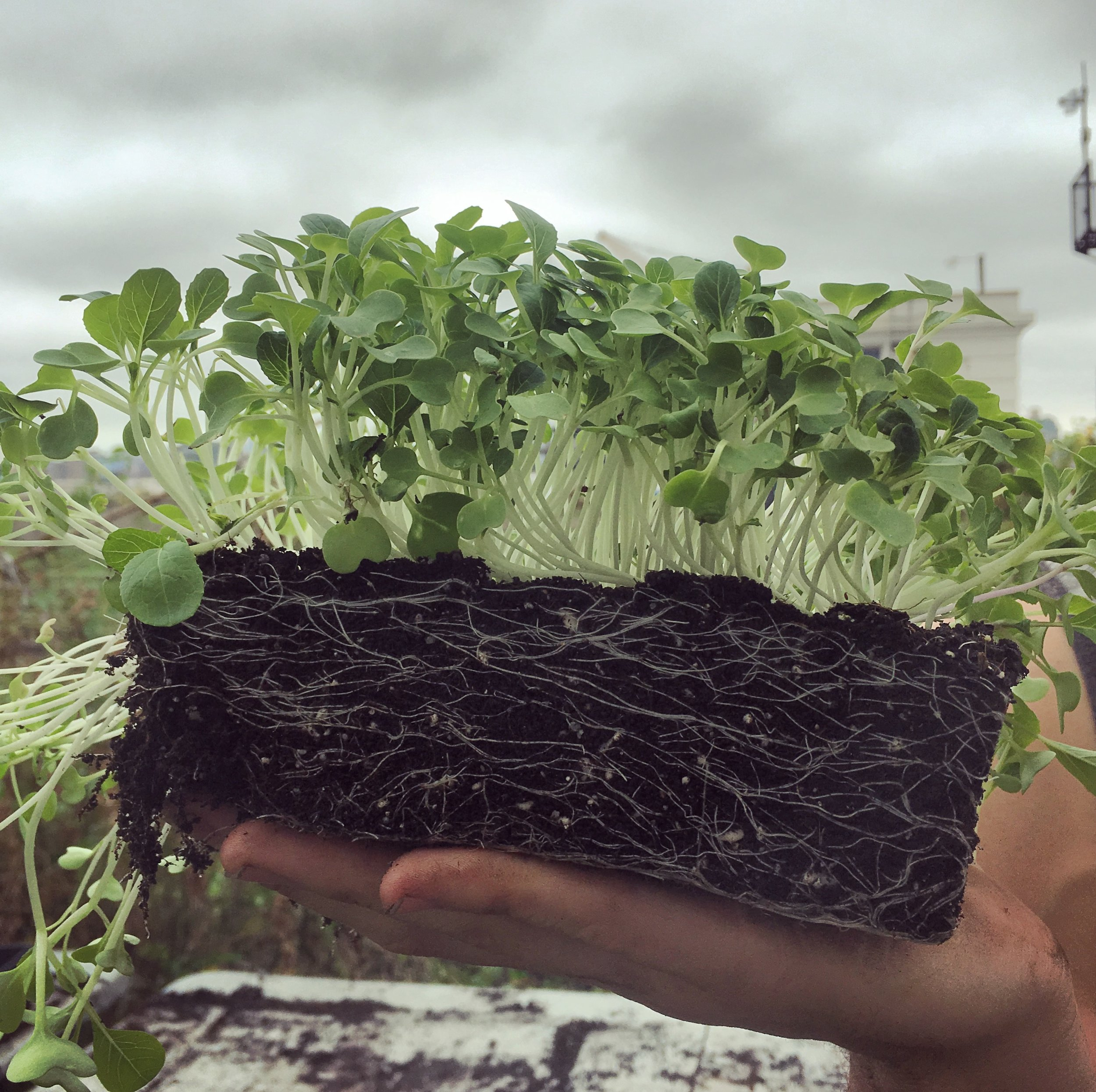 Micro-greens in soil