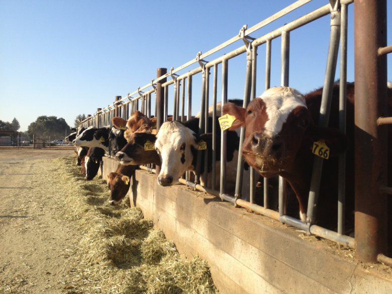 Cows on the UC Davis campus, photo by Keith Bradnam