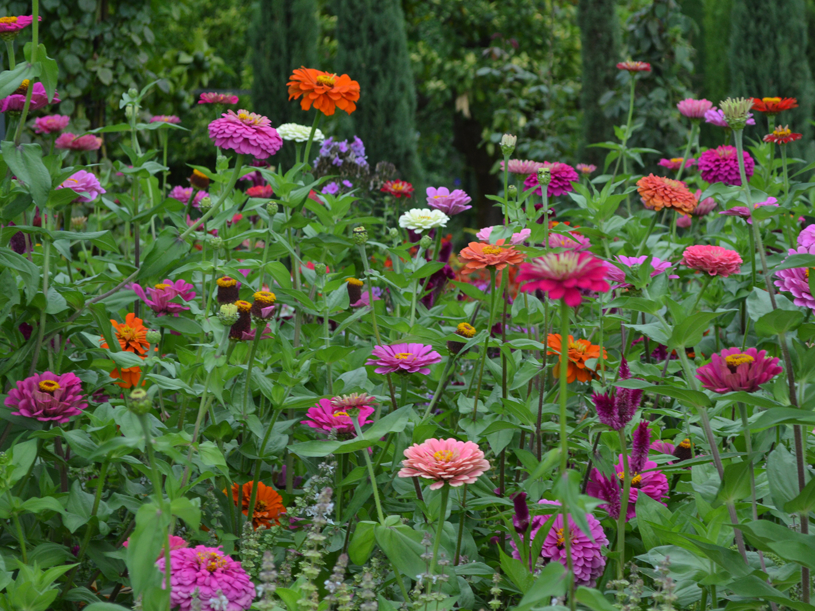 Dahlias in the Generalife gardens