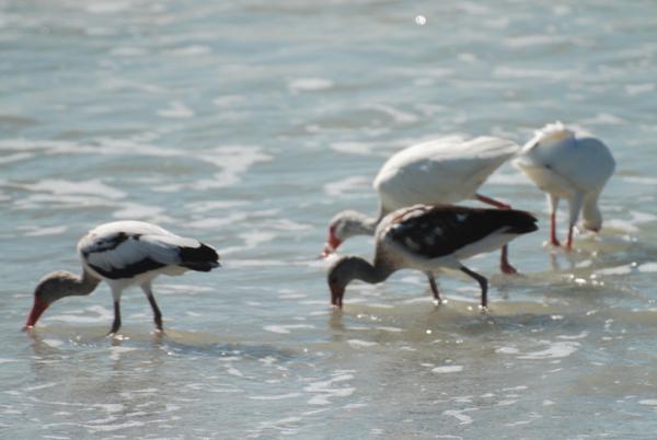 ibisJuviesWeb.jpg