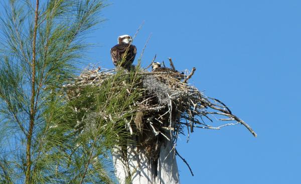 osprey2Web.jpg