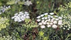 BLOOMING OPPORTUNITIES Stone Barns trials new flower varieties.   Read >>