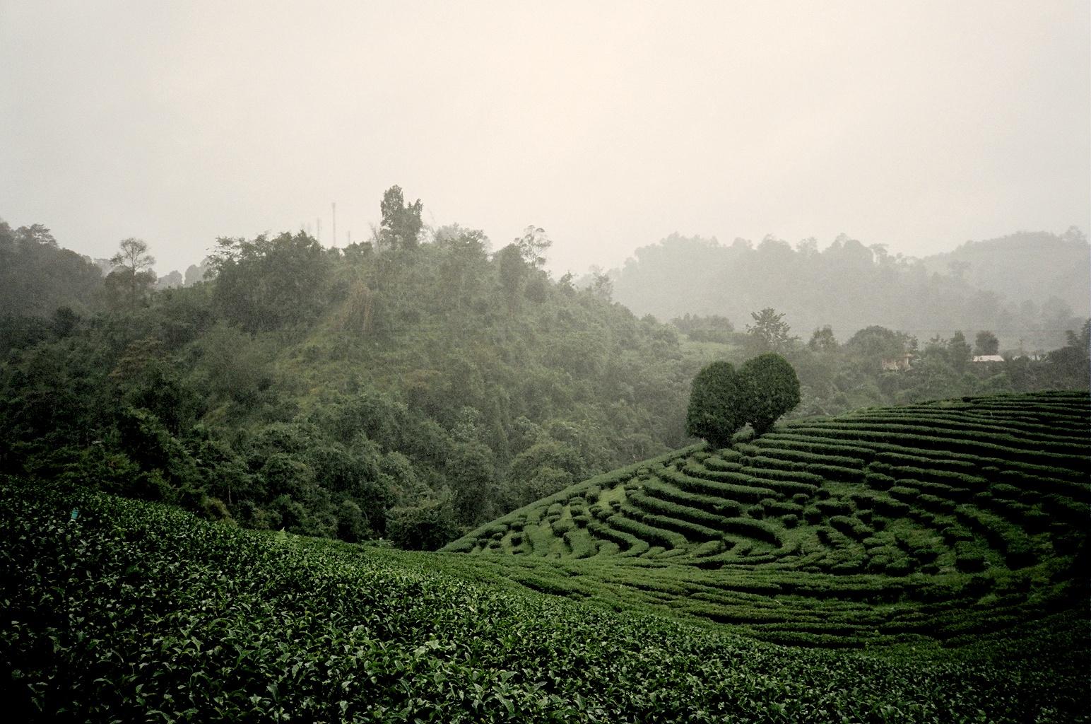 Oolong Tea Fields