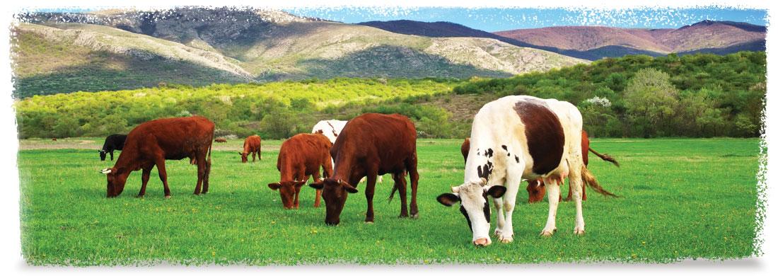 2dv-Cows.jpg
