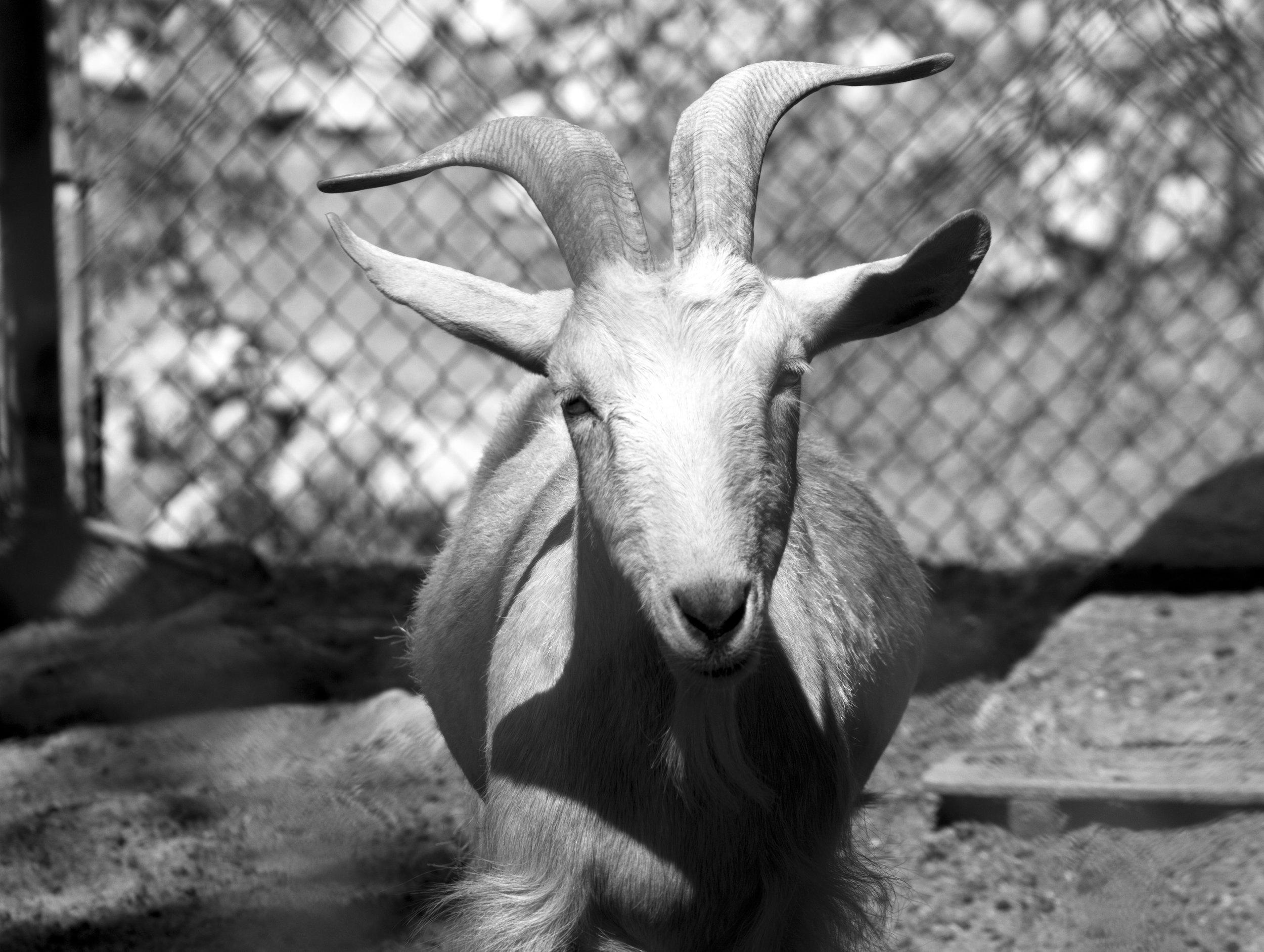 ChrisAlexakis_Goat.jpg