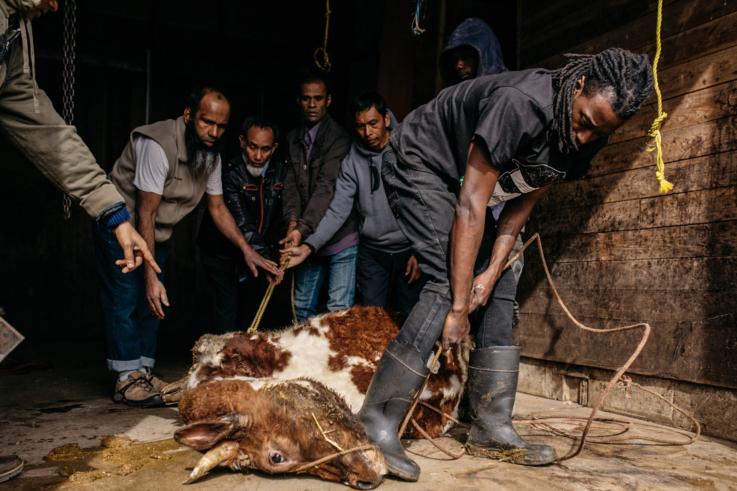 Curtis White, 30, helping Rohingya men hold down a cow for slaughter at a farm south of Chicago. The halal beef was served at the Rohingya Culture Center'€™s anniversary celebration and the rest was shared among families to take home.