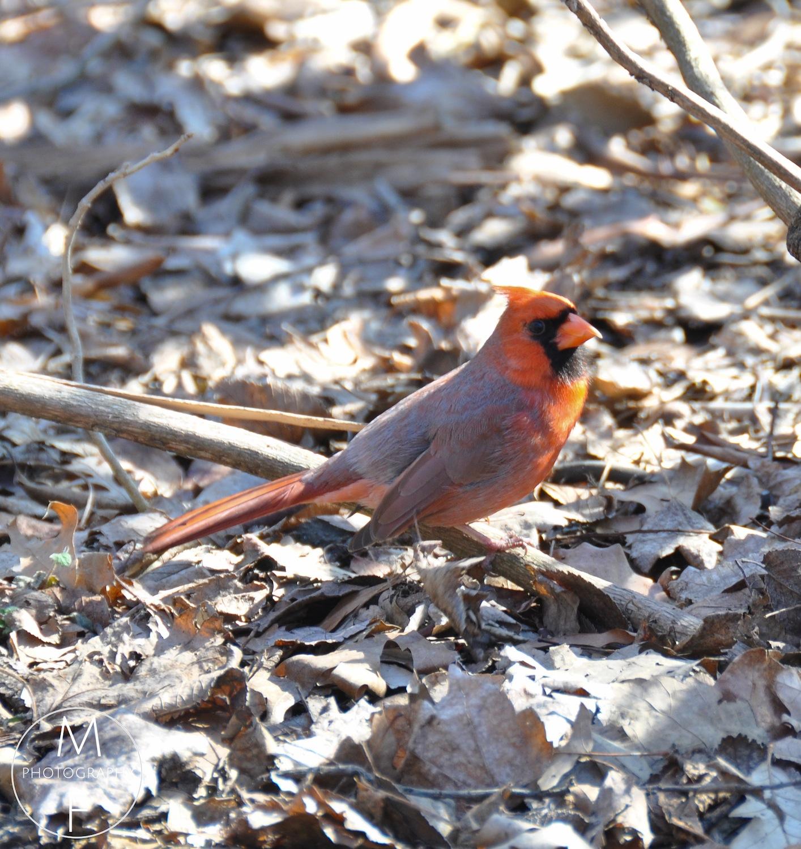 Stunning Northern Cardinal