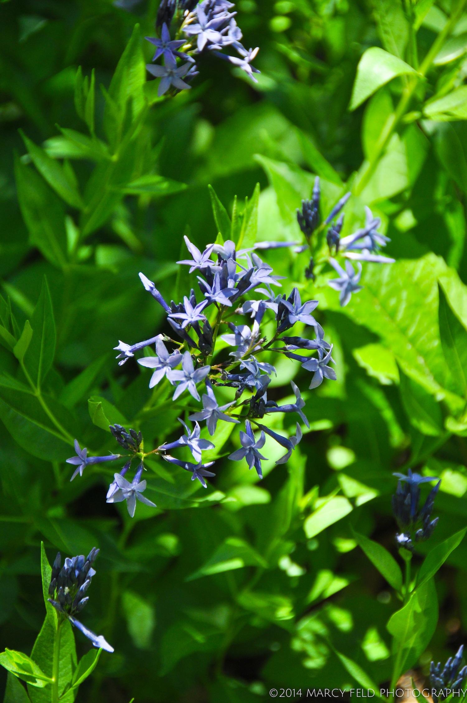 Blue Star 'Amsonia'