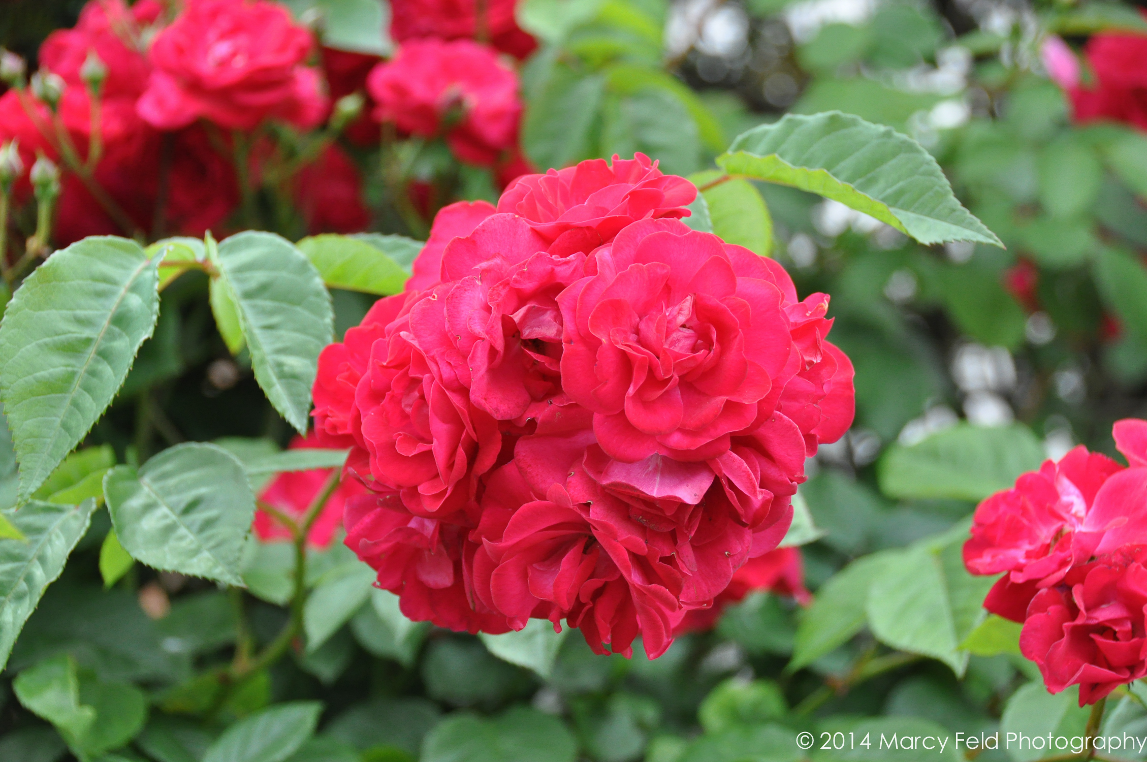 Their Amazing Rose Bush In Full Bloom