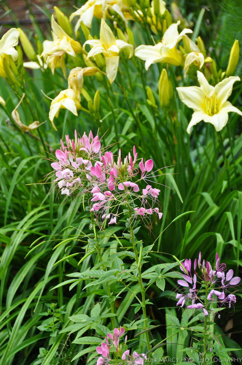 Cleome Hassleriana or Spider Flower with Lemon Day Lilies