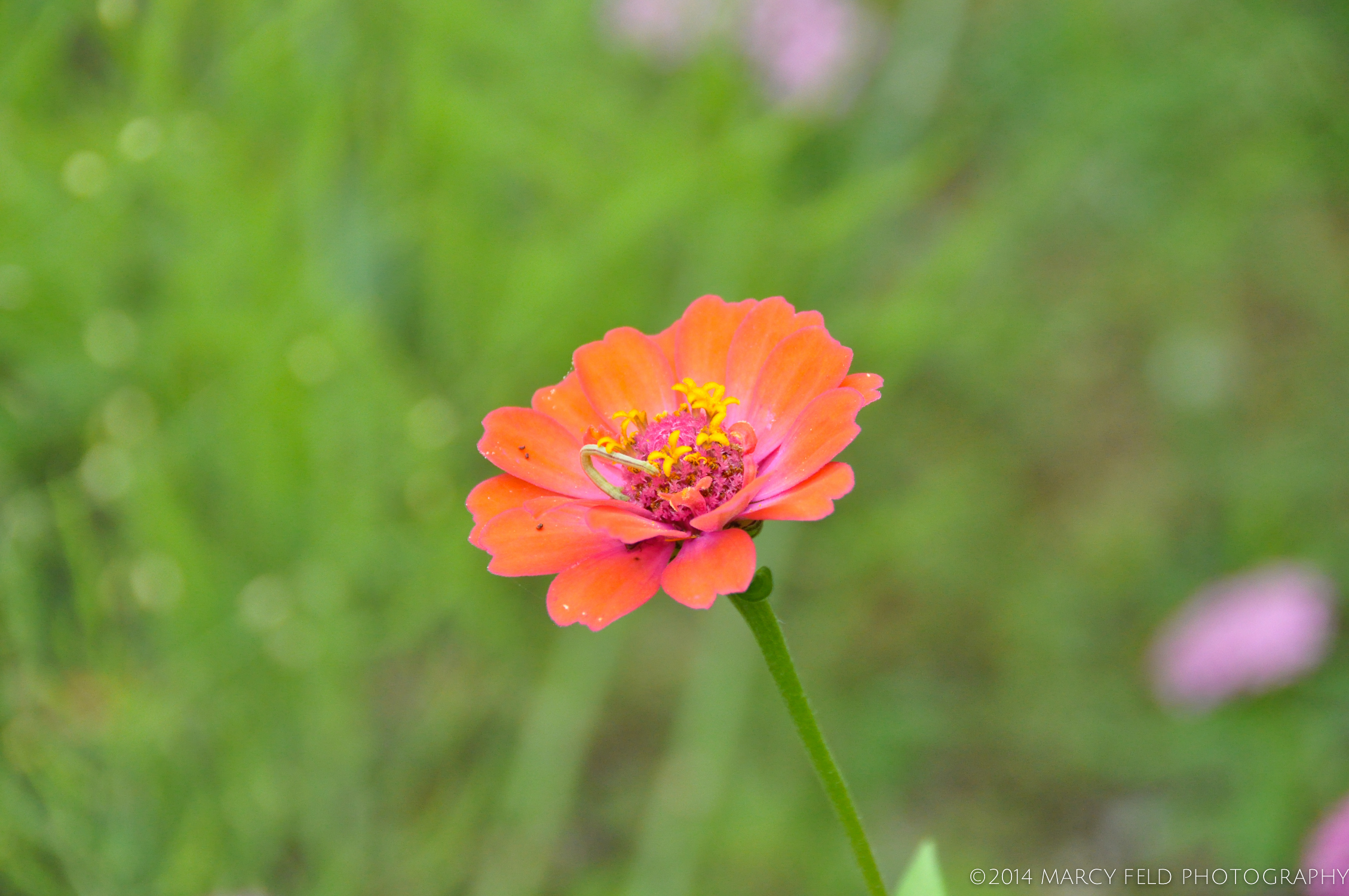 Zinnia 'Profusion' orange (Park Seed hybrid)