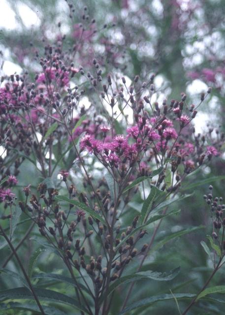 Jonesboro Giant Ironweed