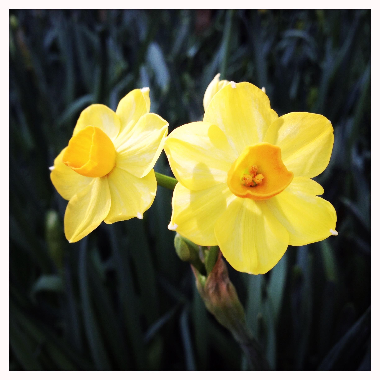 Narcissus papyraceus 'Grand soleil' at Reiman Gardens conservatory.