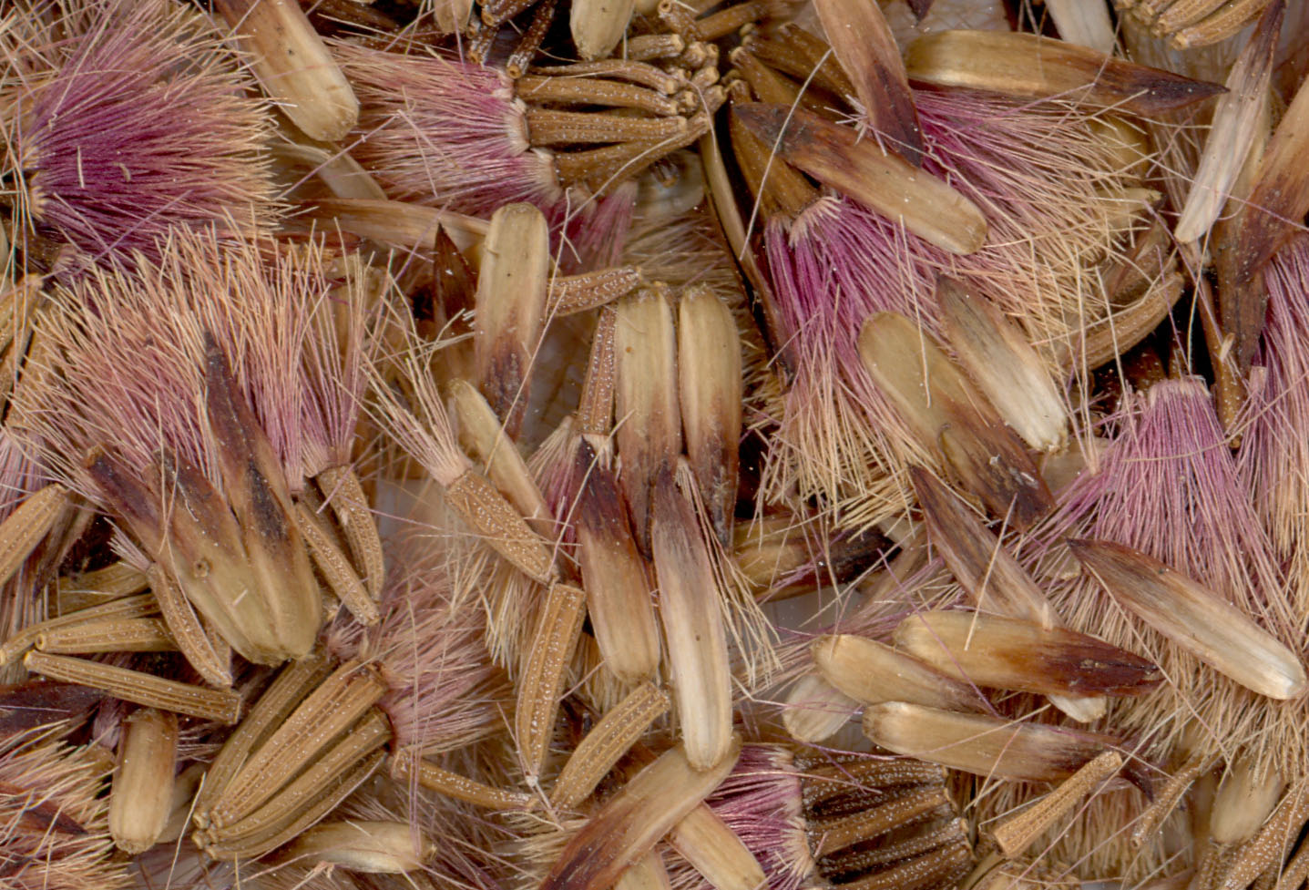 V. lettermannii prior to threshing. The beautiful maroon-colored comas were difficult to remove.