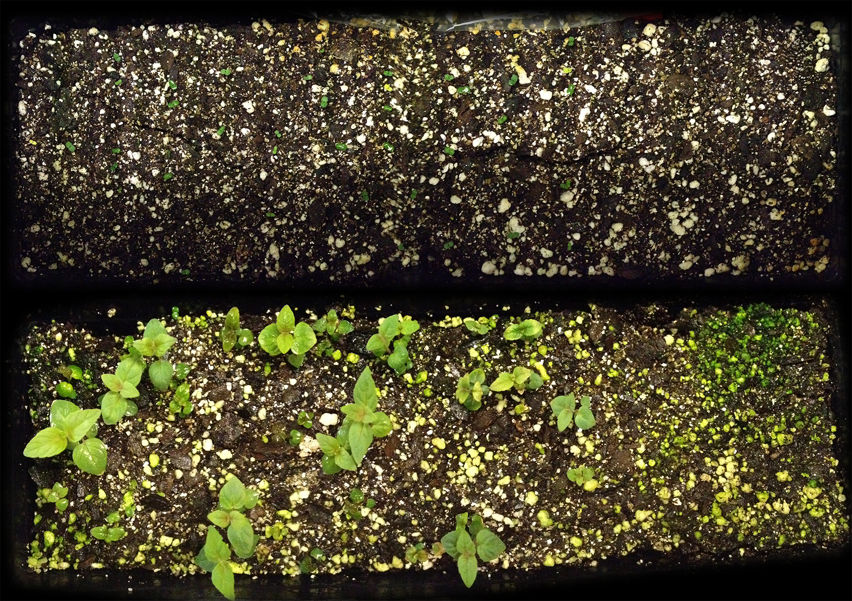 Monarda bradburiana  under no stratification treatment. Top shows first day of germination; bottom image shows growth after 30 days in the growth chamber.