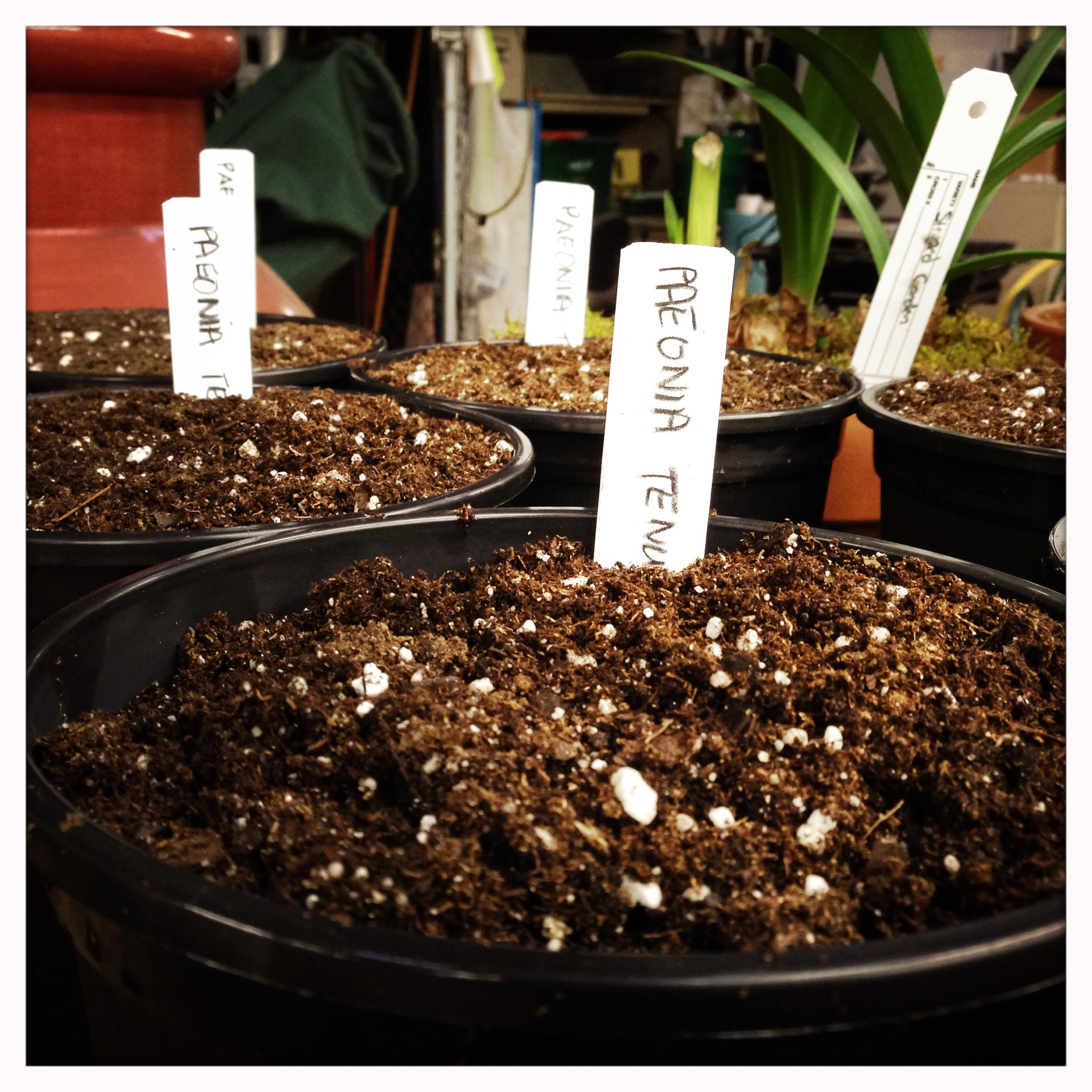 Paeonia tenuifolia,  potted and ready to grow for the Spring festival.