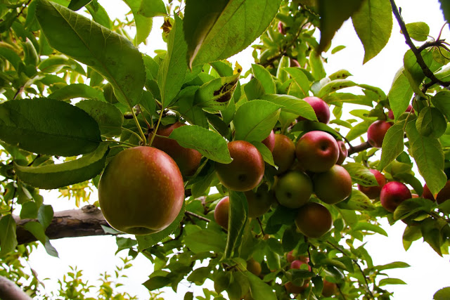 Apple+orchard+Stowe+2.jpg