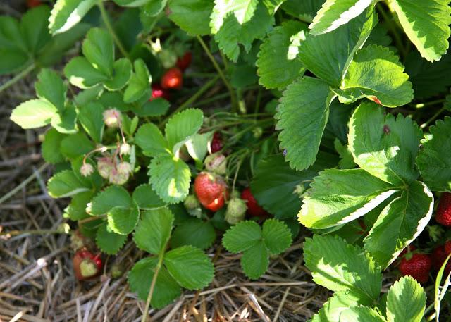 strawberry+plant.jpg