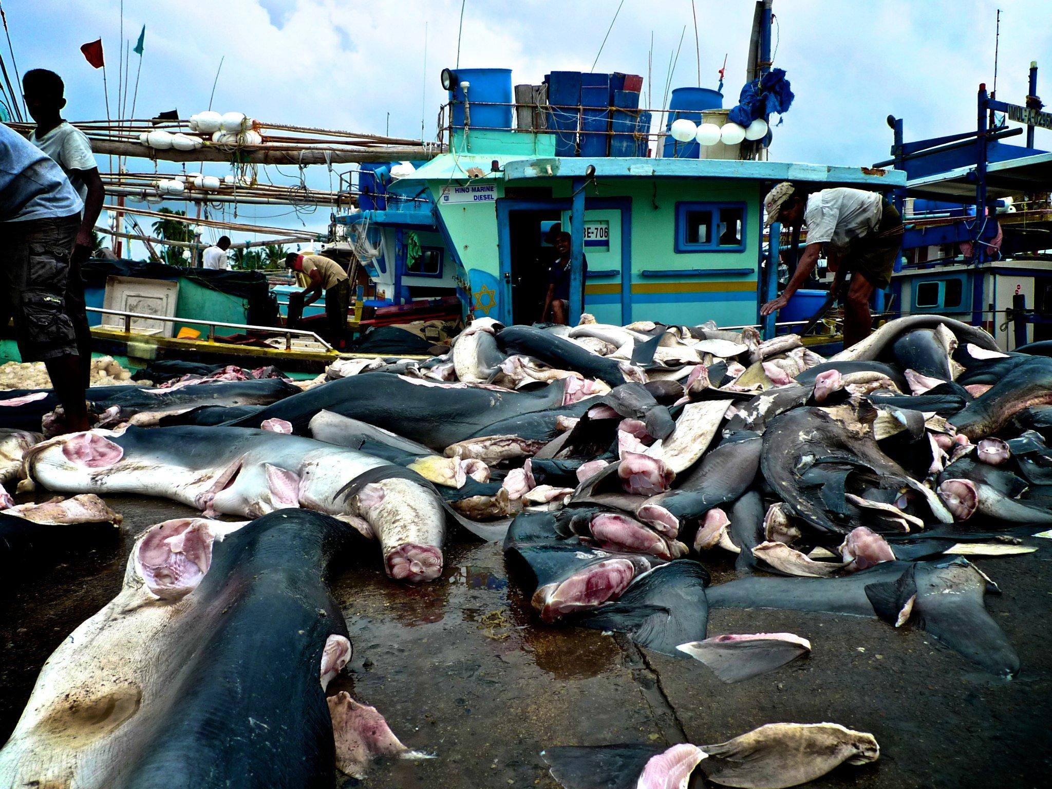 Failing to sharks in Sri lanka