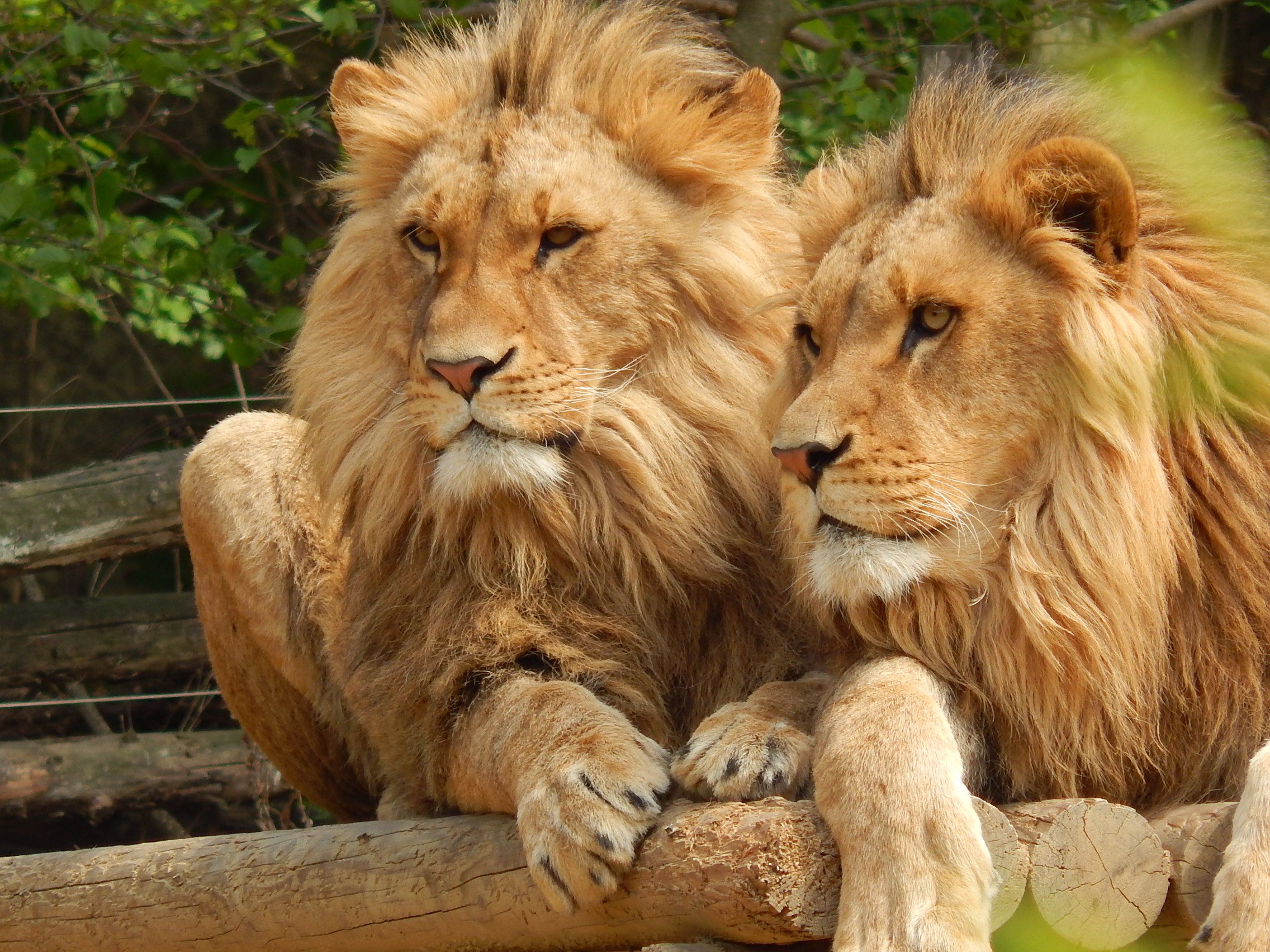 Kings of the Jungle (I am really proud of this picture)